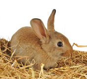 Little rabbit on the straw Royalty Free Stock Images