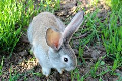 Little rabbit. Sunny day cute rabbit eating green grass on the lawn Royalty Free Stock Images