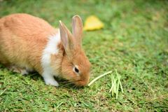 Little rabbit to walk in the lawn. stock photography