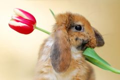 Little rabbit with tulips Stock Image
