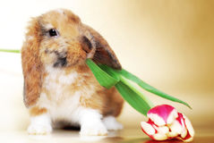 Little rabbit with tulips Stock Images