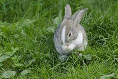 Little rabbit is wash oneself. Bunny in the meadow. Hare is sitting in the green grass stock photography