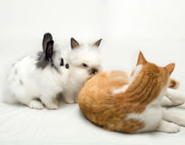 Little rabbits and cat Stock Photography
