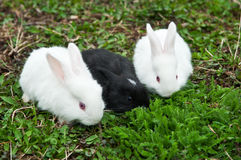 Little rabbits eat grass Stock Images
