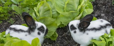 Little rabbits eating lettuce Stock Photos