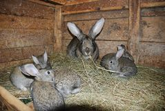 Gray and brown rabbits are riding hay. Little  rabbits. The farm for the production of dietary meat Royalty Free Stock Photos