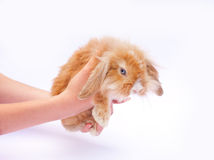 Little rabbits in the hands. Of the white background. (isolated Stock Image