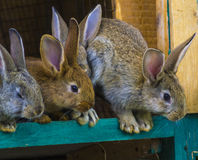 Little rabbits. rabbit in farm cage or hutch. Breeding rabbits c Stock Images