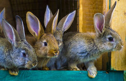 Little rabbits. rabbit in farm cage or hutch. Breeding rabbits c Royalty Free Stock Image