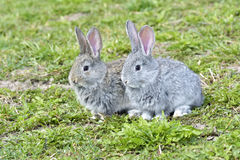 Little rabbits sitting outdoors Stock Image