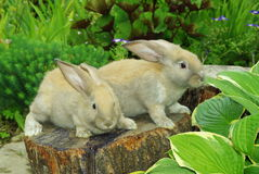 Little rabbits on the stump. Little rabbits sitting on the stump in garden Royalty Free Stock Images