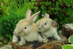 Little rabbits on the stump Royalty Free Stock Images