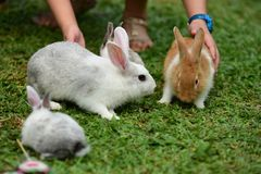 Little rabbits are tricky in the garden. Cute rabbit, brown and white rabbit, mother and baby, walking in the lawn Royalty Free Stock Photography