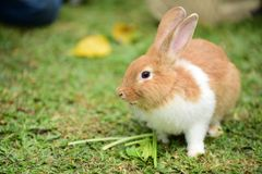 Little rabbits are tricky in the garden. Cute rabbit, brown and white rabbit, mother and baby, walking in the lawn Royalty Free Stock Images