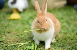 Little rabbits are tricky in the garden. Cute rabbit, brown and white rabbit, mother and baby, walking in the lawn Stock Photos