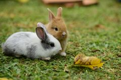 Little rabbits are tricky in the garden. Cute rabbit, brown and white rabbit, mother and baby, walking in the lawn.nLittle rabbits are tricky in the garden Stock Images