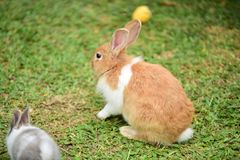 Little rabbits are tricky in the garden. Cute rabbit, brown and white rabbit, mother and baby, walking in the lawn.nLittle rabbits are tricky in the garden Royalty Free Stock Images