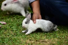 Little rabbits are tricky in the garden. Cute rabbit, brown and white rabbit, mother and baby, walking in the lawn Stock Image