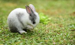 Little rabbits are tricky in the garden. Cute rabbit, brown and white rabbit,walking in the lawn Royalty Free Stock Images