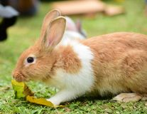 Little rabbits are tricky in the garden. Cute rabbit, brown and white rabbit,, walking in the lawn Stock Image