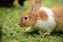 Little rabbits are tricky in the garden. Cute rabbit, brown and white rabbit, , walking in the lawn Royalty Free Stock Photo