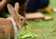 Little rabbits are tricky in the garden. Cute rabbit, brown and white rabbit,walking in the lawn Royalty Free Stock Image