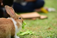 Little rabbits are tricky in the garden. Cute rabbit, brown and white rabbit, , walking in the lawn Royalty Free Stock Photos