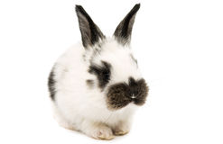 Little rabbits Royalty Free Stock Photography