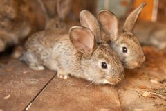 Little rabbits in wood box. Background Royalty Free Stock Image