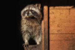 A  little raccon looks out. Of his house Stock Photos