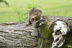 Little Raccoon Climbing Down from Log Royalty Free Stock Images