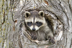 Free Little Raccoon Peeking Our Of Hole In Tree Royalty Free Stock Image - 86762946