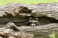 Little Raccoon Peeking out of its Den Stock Photography