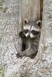 Young Raccoon Posing in the Hole of a Tree Royalty Free Stock Photography