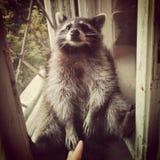 Little raccoon. Very nice raccoon royalty free stock images