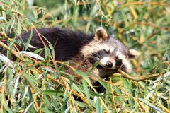 Raccoon. A little raccoon is watching you Stock Photography