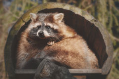 A little racoon looks out. Of his house Royalty Free Stock Images