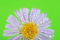 Little rain drops on flower petals Stock Photography