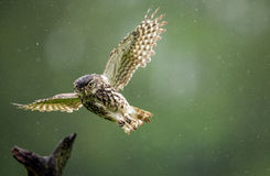 A little rain. A wild and very wet little owl flying in the rain Royalty Free Stock Photos