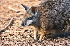 Little rare Tammar Wallaby - Macropus eugenii, Australia Stock Image
