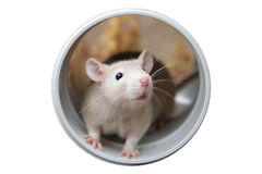 Little rat. A cute cream colored rat hiding inside a plumbing pipe and isolated on white