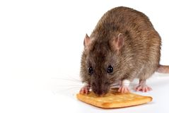 Little rat Royalty Free Stock Photos