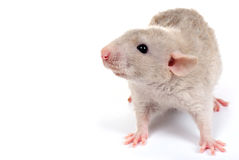 Little rat Royalty Free Stock Image