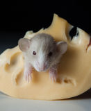 Little rat and cheese Stock Photo
