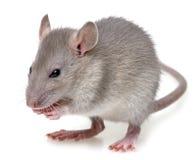 A little rat Stock Image