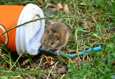 Little rat sitting on a plastic cup thrown on the grass Stock Image
