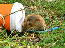 Little rat sitting on a plastic cup thrown on the grass. Trying to drink what is inside stock images