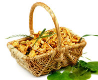 Little Raw Chanterelles Stock Image
