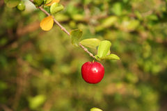 Ripe acerola fruit. On branch of leafy tree Royalty Free Stock Photo