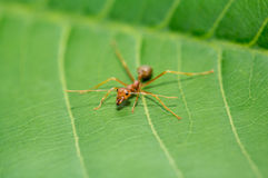 Little red ant on green leaf Royalty Free Stock Photo